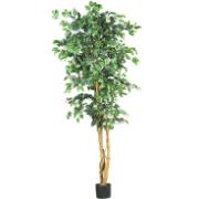 RED BACK FICUS W/1008 LVS 180C